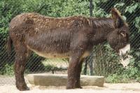 ドンキー(ポイトー) ロバの一品種