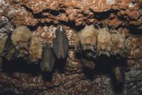 キクガシラコウモリ 集団で冬眠