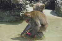 イモを洗って食べるニホンザルのオス
