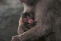 おっぱいを吸うニホンザルの赤ちゃん