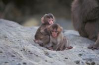 母ザルのそばで遊ぶ2頭のニホンザルの子