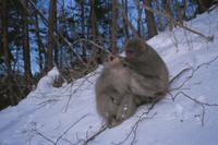 雪上で毛づくろいを受けてあくびするニホンザル