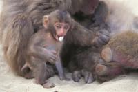 母ザルのかたわらで小石をくわえて遊ぶニホンザルの子