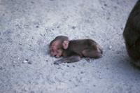 泣き叫ぶニホンザルの赤ちゃん