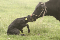 出産直後の子をなめるウシ(飼育種)の母親:黒毛和種