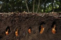 カブトムシの蛹 32146000391| 写真素材・ストックフォト・画像・イラスト素材|アマナイメージズ