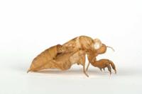 ツクツクボウシの抜け殻(羽化殻) 32146000440| 写真素材・ストックフォト・画像・イラスト素材|アマナイメージズ