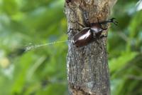 おしっこをするカブトムシのオス