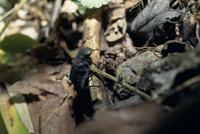 羽化の為に這い出てきたムカシトンボの幼虫