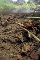 ミヤマカワトンボの幼虫