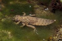 ヤマサナエの幼虫