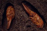 ネプチューンオオカブトの蛹 オス
