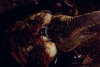 ネプチューンオオカブトの羽化