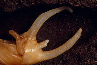 ネプチューンオオカブトの蛹化後 ツノの変化 5-5