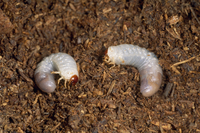 ネプチューンオオカブト 1齢幼虫