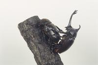 カブトムシ 交尾