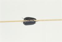 ダンゴムシの竹ひご渡り