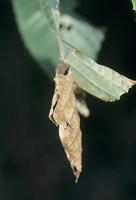 アオバセセリの幼虫の巣
