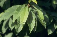 アワブキとアオバセセリ 中齢幼虫の巣