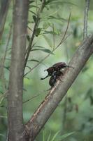 ヤナギの一種につくカブトムシ