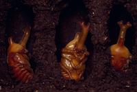 カブトムシの蛹