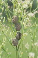 トックリバチの一種 巣