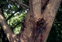 ヤナギの樹液に集まるカブトムシ
