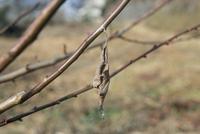 梅の木についていたジョロウグモ 卵