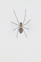 カバキコマチグモのメス