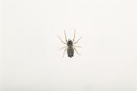 ヨツデゴミグモのメス