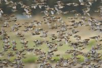 アトリ 越冬 群れで飛翔