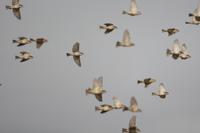 ニュウナイスズメ 群れでの飛翔