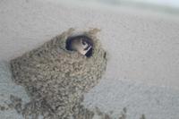 スズメ コシアカツバメの巣を乗っ取った