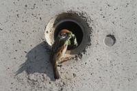 スズメ 巣穴に巣材を運ぶ