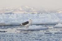 オオセグロカモメ 流氷にとまる