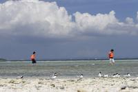 ベニアジサシ ビーチで休息する群れ