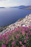 エーゲ海をのぞむ斜面に群生するケントラントゥス・ルベル