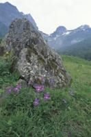 高原帯の草原に咲くヴィオラ・コルヌタ