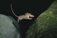 ドングリくわえてジャンプするヒメネズミ