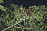 ムササビ 針葉樹の葉を食べる 32152000020| 写真素材・ストックフォト・画像・イラスト素材|アマナイメージズ