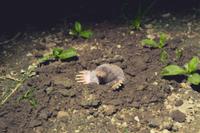 地上に顔を出したアズマモグラ