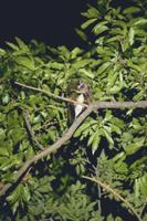 クヌギの葉を食べるムササビ