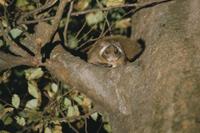 樹上のムササビ 32152000095| 写真素材・ストックフォト・画像・イラスト素材|アマナイメージズ