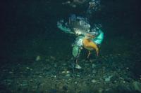 水に飛び込みモツゴを捕食するカワセミ
