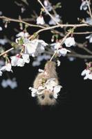マメザクラの花蜜を食べるヤマネ