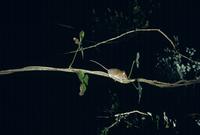 アケビのつるを登るヒメネズミ
