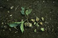 ムササビ クヌギのドングリを食べた痕 32152000190| 写真素材・ストックフォト・画像・イラスト素材|アマナイメージズ