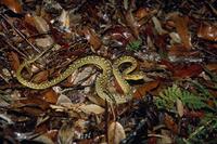 ハブの幼蛇 50cm