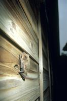 明け方板壁のすき間に入るアブラコウモリ