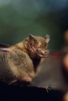 世界最小のコウモリ キティーブタバナコウモリ